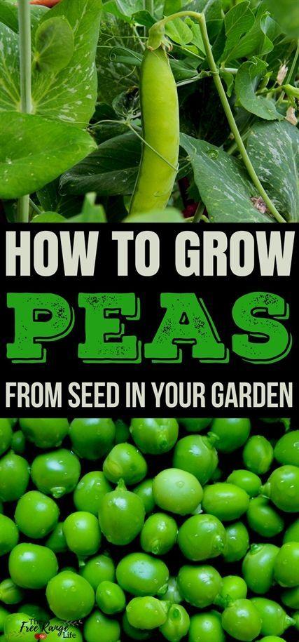 Wie man Erbsen in Ihrem Gemüsegarten anbaut