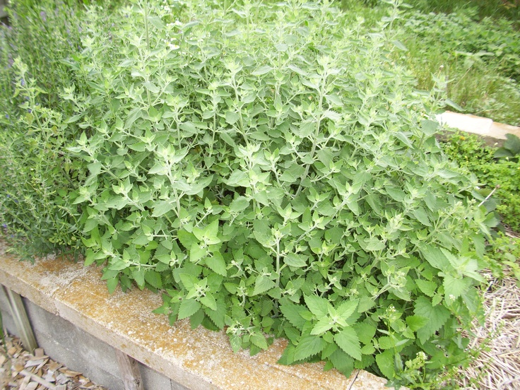 Catnip — Grown near the home, it attracts good spirits and great luck. Catnip is used in spells designed to enhance beauty and happiness. Large catnip leaves are pressed and used as bookmarks in magickal texts. | SOURCE: The Wiccan Garden (http://angelfire.com/on/wicca)