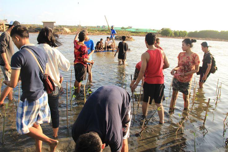 Penanaman bibit mangrove
