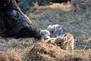 Boar piglets at Escot Park