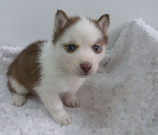 husky puppies for sale in texas best 25 miniature husky for sale ideas on pinterest 7405