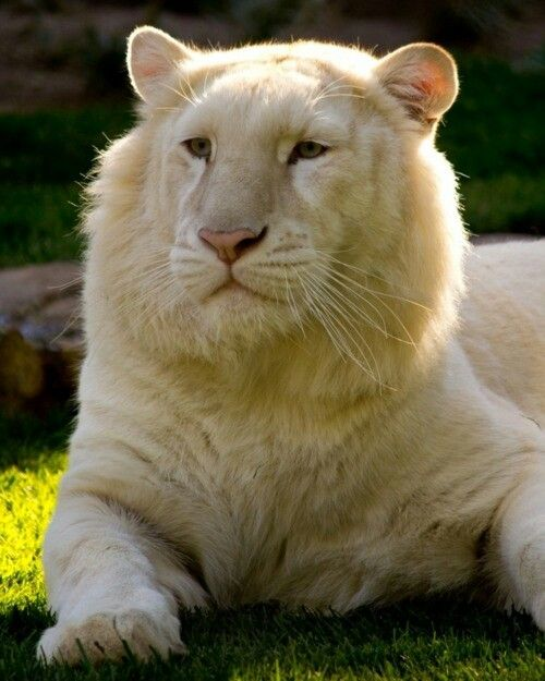 Liger - I don't know why they breed these cats, but this guy looks very cuddly-BEAUTIFUL...