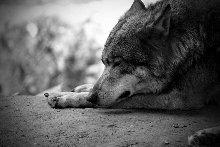 Трафарет волка фото гаджет часов