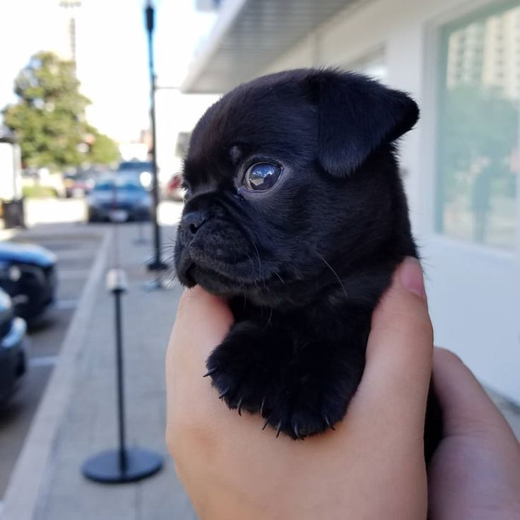 Rate it 1-10!   #pugdaily #pugs #pug #cute #puglover  Would you like to hug it as much as I do?  All credit goes to the owners  Tag if you know them   #pugdaily #pugs #pug #cute #puglover