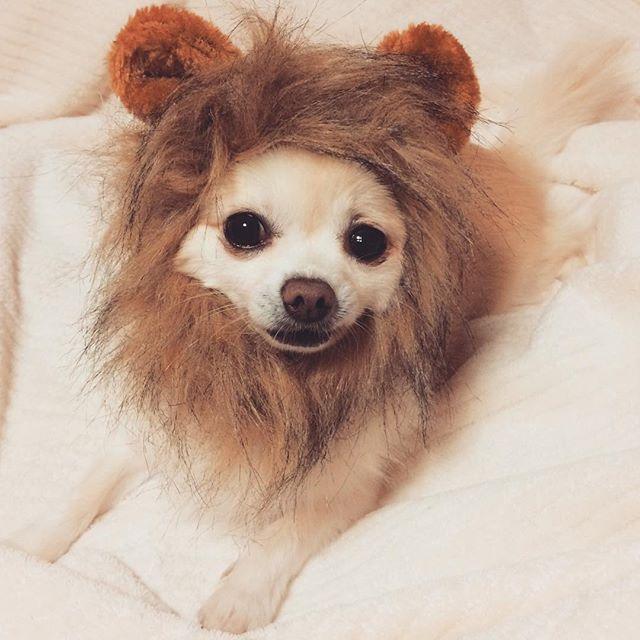 百獣の王(嫌そう)。 #愛犬 #チワワ #ロンチー #ロンチークリーム #チワワラブ #チワワバカ #コスプレ犬 #ライオン #ライオンコスプレ #chihuahua #chihuahualife #chihuahualove #chihuahuaworld