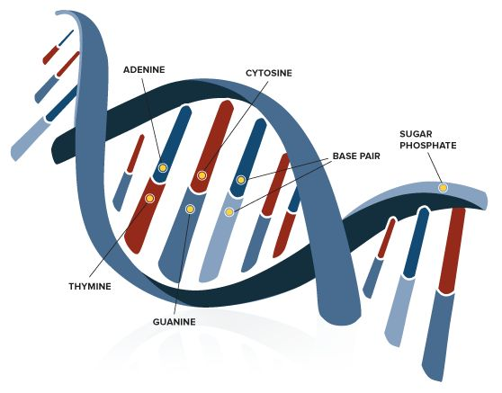 a gene has the instructions to manufacture a