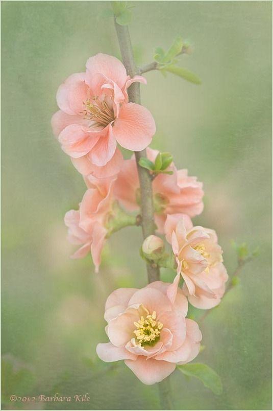 Peach blossoms.