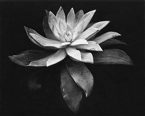 Edward Weston, Succulent