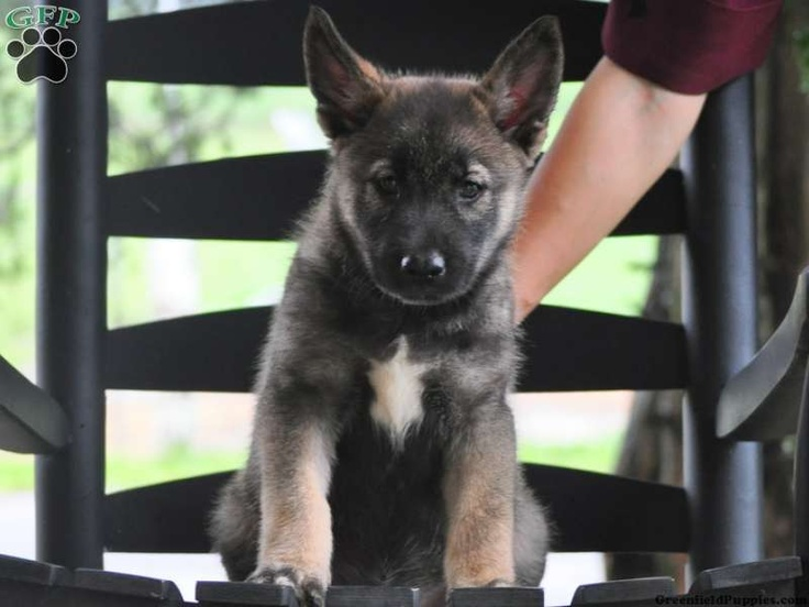 Norwegian Elkhound Mix Puppies For Sale In PA