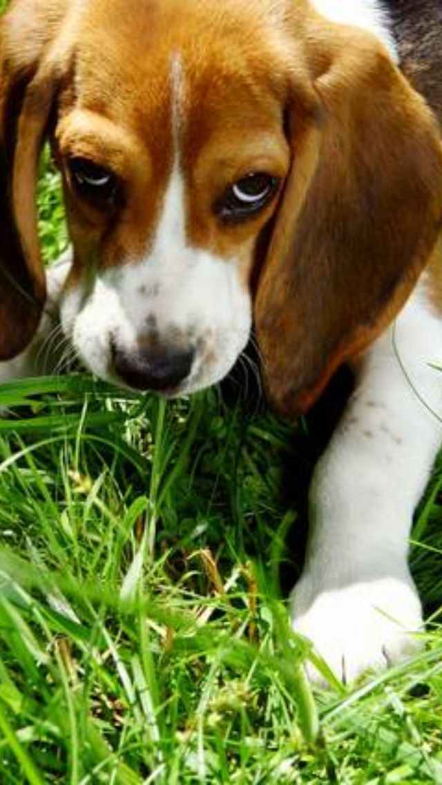 10 Exhilarating Beagles Make Great Pets Ideas Cats And Dogs