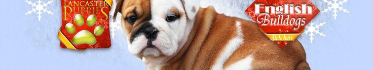 Jace - English Bulldog/Puggle Puppy for Sale in Fredricksburg, OH