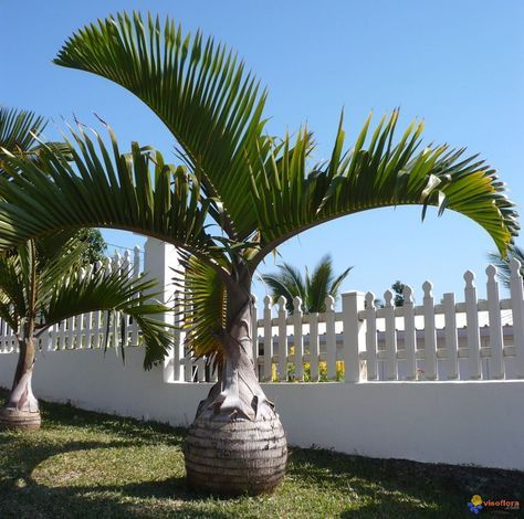 Tipos De Palmas | palma - palmera de hyophorbe lagenicaulis palma botella