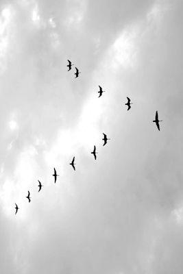 Amanda Thorbjörnsson - Flykt, black and white photograph, flying birds