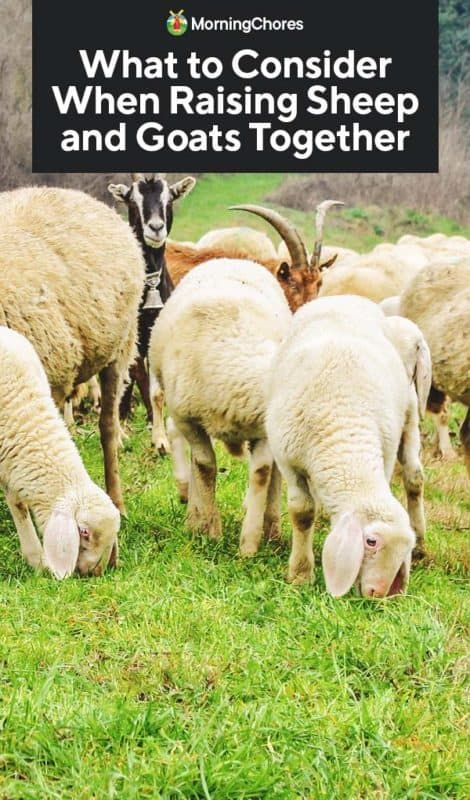 What to Consider When Raising Sheep and Goats Together ...