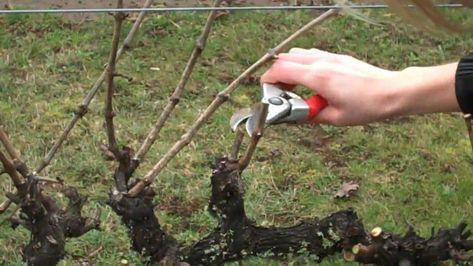 A szőlő metszése január végén, február elején aktuális.