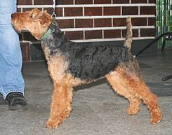 El Terrier Galés (Welsh terrier en inglés) es una raza de perro que data de los años 1760 y es uno de los terriers más antiguos. Originalmente fue criado para la caza de zorros, roedores y tejones,