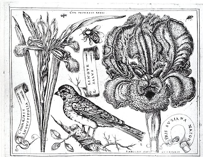 Dirt Balls: Iris images = Livres de Fleurs 1620