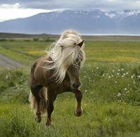 Forsíðumynd 2009  - Hágangur: Nordlandshest Lyngshest, Fjord Hors, Beautiful Hors, Hair Doe, Gudbrandsd Hors, Iceland Hors, National Hors, Northland Hors, Hors Breeds