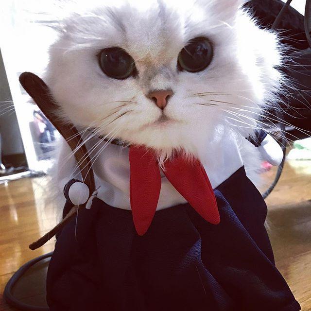 🐱「てめー!やんのかコラ?」 🐱「掃除機、ドライヤー以外ならなんでも来やがれ!」 なんか着せたらこんな顔になった。 多分、その気になってる。 . . . #cat#cute#monde#persian#Chinchilla#チンチラシルバー#愛猫#猫#ふわもこ部#にゃんすたぐらむ#ペルシャ#可愛い#cute#スケ番#スケ番猫#番長#セーラー服