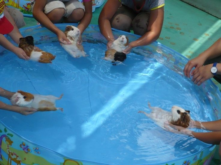Guinea Pigs are natural swimmers, but have to be introduced to the water slowly so they don't panic - Imgur