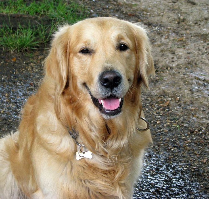 Top 10 Smartest Dog Breeds In The World Dogs Golden Retriever