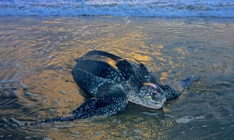 Leatherback and Loggerhead Turtles: Witness these highly endangered—and highly entertaining—creatures as they make their way up South Africa's beautiful beaches to lay their eggs after dark.
