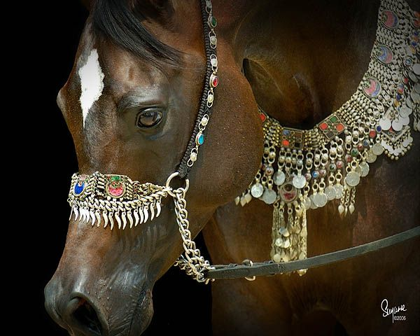 Botswana, Arabian Stallion in signature design from Arabian Fancy. Talaria Farms. Suzanne Sturgill photo