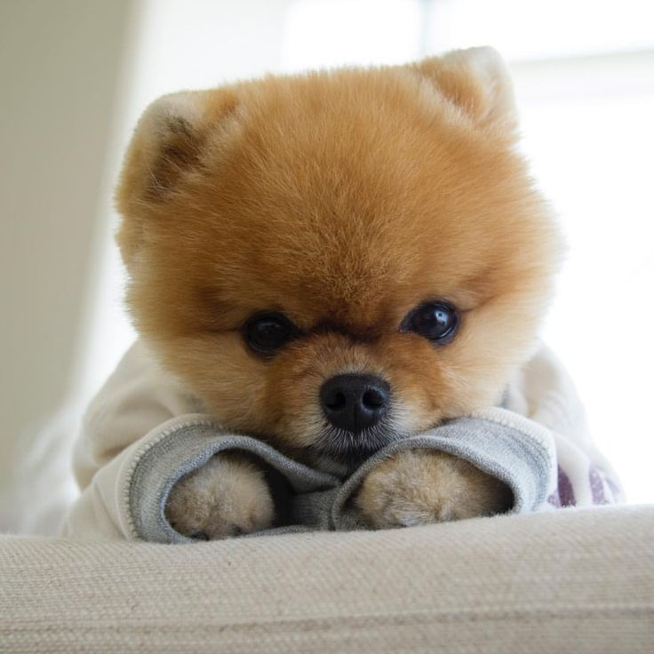 Best JIFFPOM Images On Pinterest Puppies Puppys And Pomeranians - Jiff the pomeranian is easily the best dressed model on instagram
