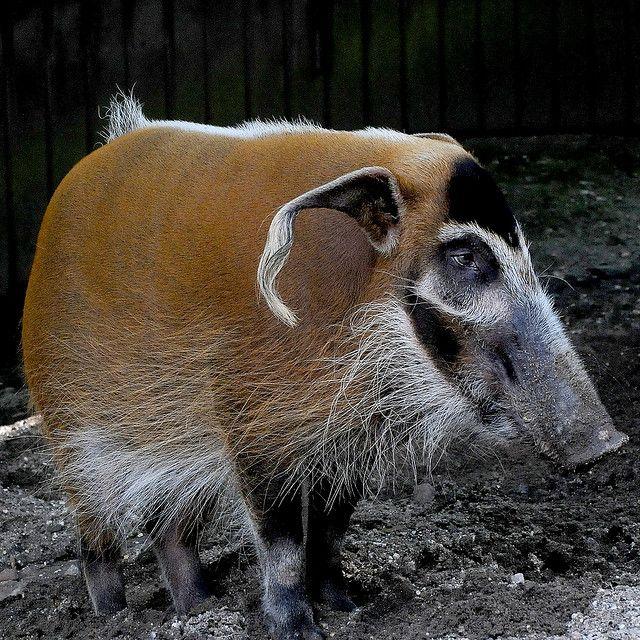 red river pig | Red River Hog ( Pinselohrschwein) | Flickr - Photo Sharing!