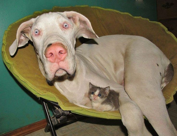 Friends - #Great #Dane and #kitty