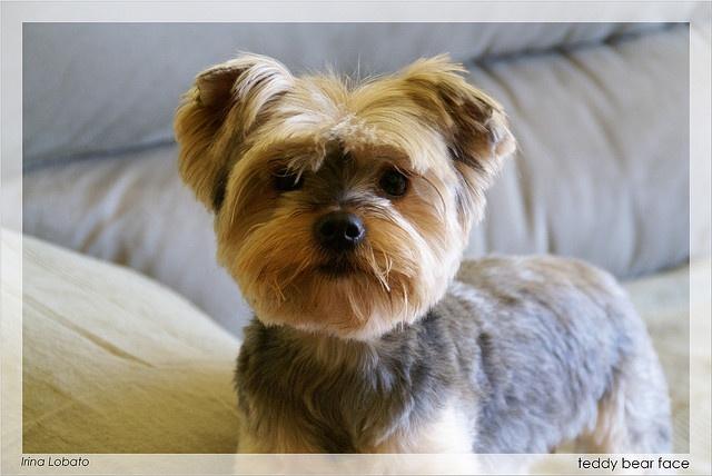 Teddy+Bear+Yorkie+Haircut | Teddy Bear Face | Flickr - Photo Sharing!