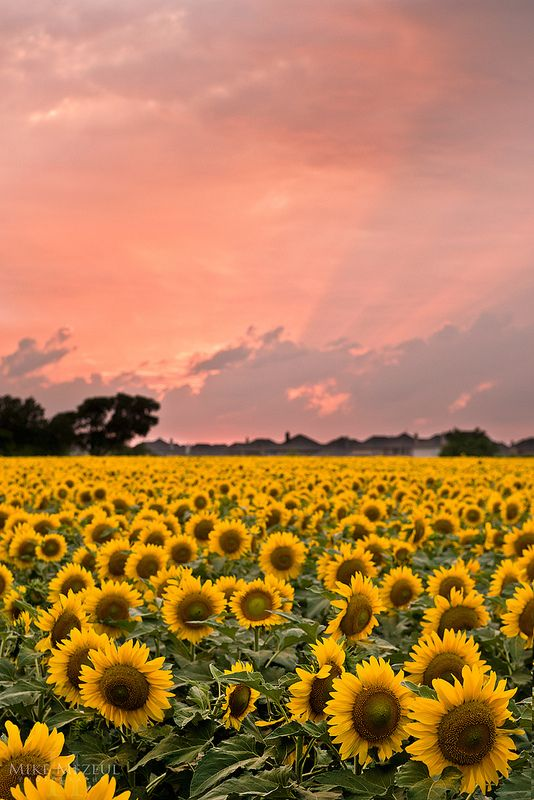 Sunflowers | Allen, Texas