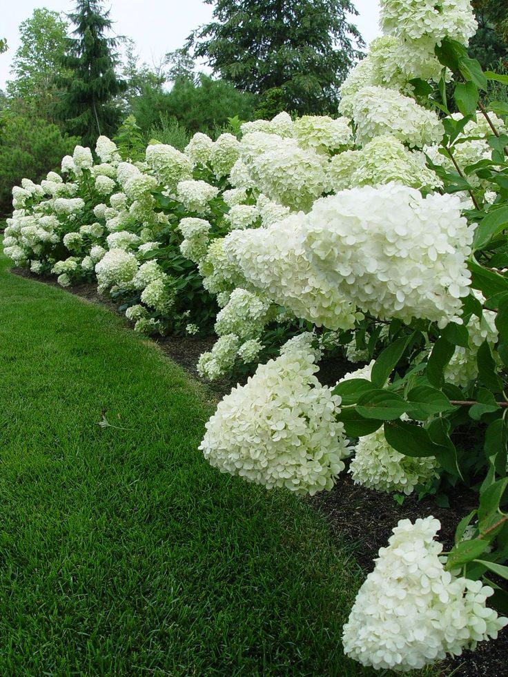 hedge of limelight hydrangeas                                                                                                                                                                                 More