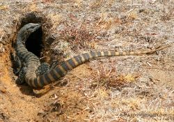 Western Sand Monitor, one of our many locals that live on the property and pop up for a visit :)