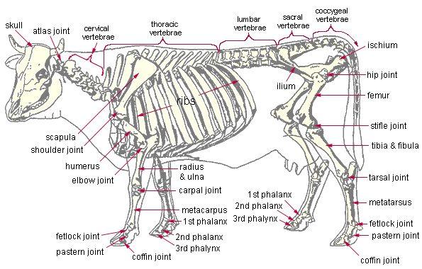 Anatomy of cattle!   Large animal vet, Vet medicine, AnatomyPinterest