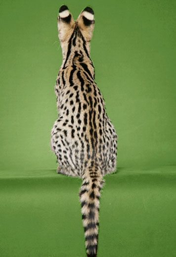 The goal of our Bengal and Savannah cat breeding program is to produce kittens with the exotic look of the wild cat and gentle, yet spirited nature of the domestic.