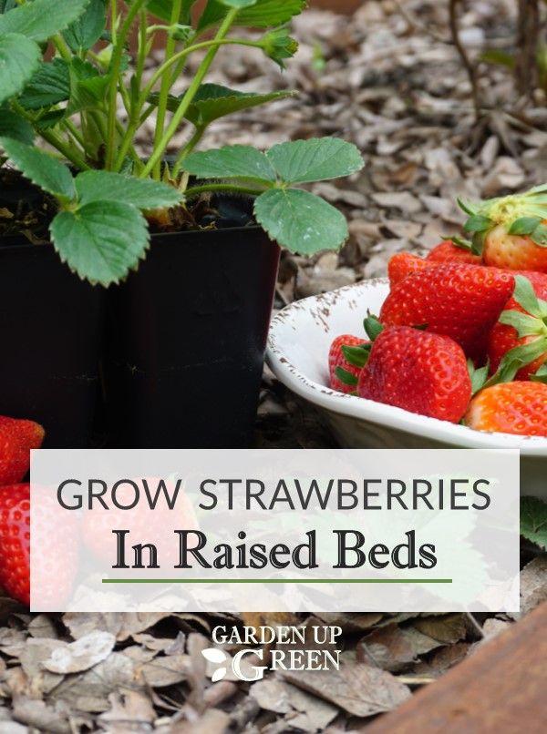 Growing Strawberries In Raised Beds In 2020 Growing Strawberries Strawberry Raised Garden Beds