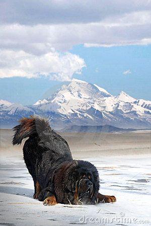 Dogue du Tibet (Mastiff Tibétain)