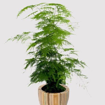plumosa fern, asparagus plumosus, ferns, plant, planters, statues, statue, garden sculpture, planter, Patio Furniture, Flower Pot, Indoor planter, planter pots, flower pots,Patio Sculptures, Patio …