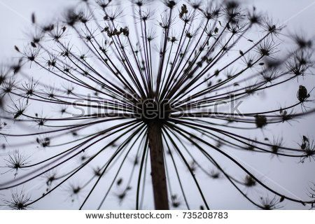 cow parsnip dried in the field, the weed, umbrella plant