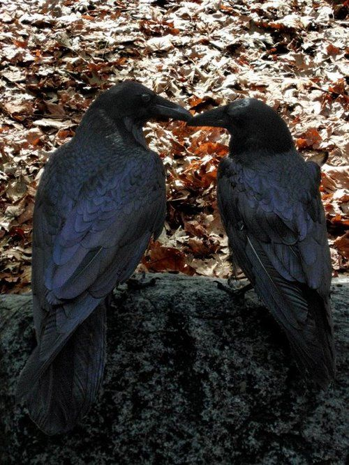 """♥♥♥Ravens mate for life and besides grooming each other will give each other gifts including flowers and hold """"hands""""."""