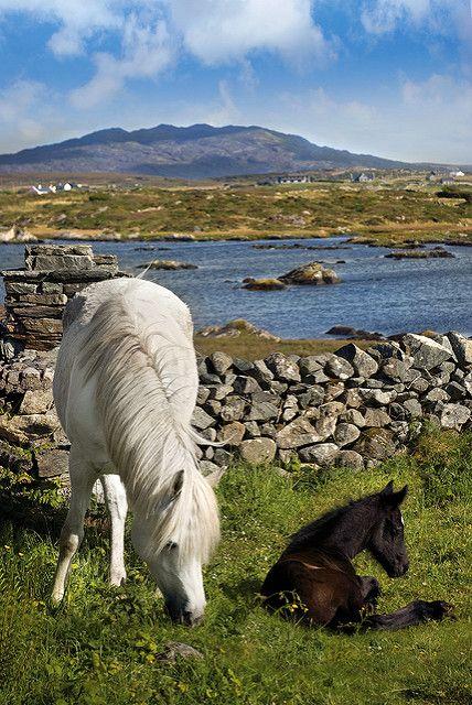 Mary Folan's Ponies, The Low Road, Errislannan, Connemara.