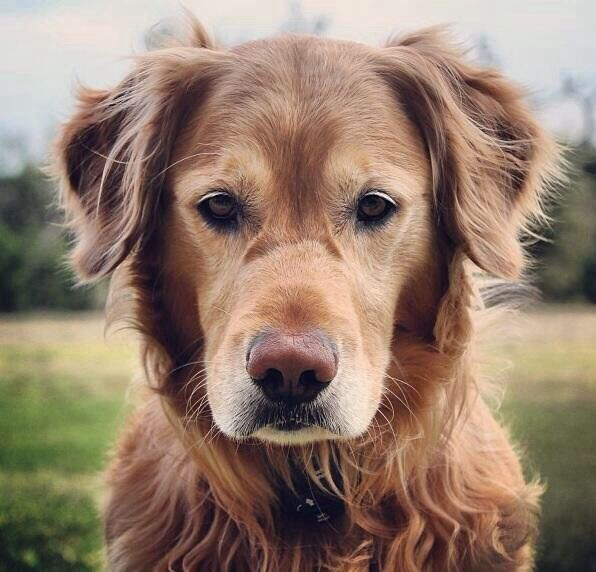 Old dogs can be just as cute as puppies. #dogs #puppies #cutest #naturessleep #goldenretriever