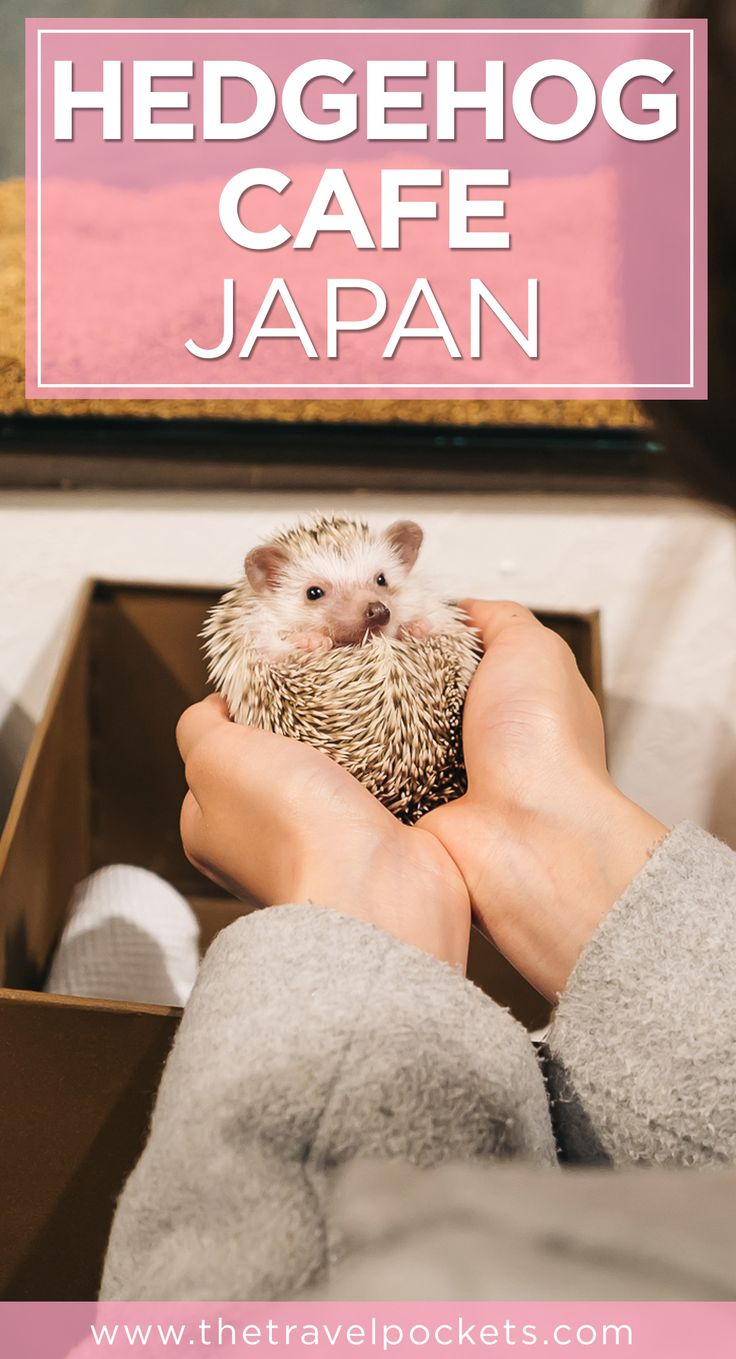 Our first time holding hedgehogs at the Hedgehog Cafe in Japan!