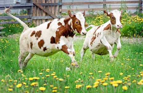 Cows dancing in the summer pasture! - Ihanaa päästä ulos!