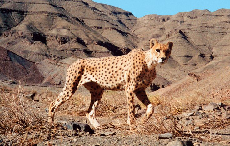 Saving The Desert Cheetahs Of Iran, 24 Mar 16:  With just 50 of their kind left, Asiatic cheetahs find an ally in legendary field biologist George Schaller.
