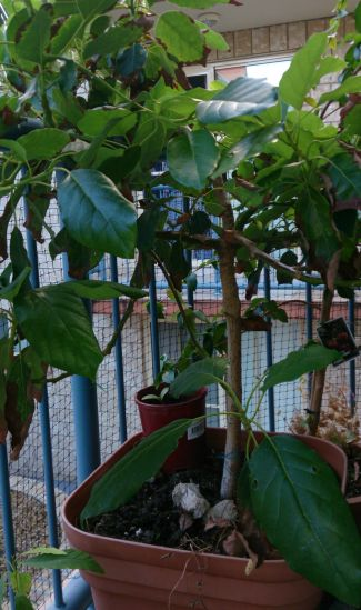 "Potted Fruit Tree Tips For Small Space Gardeners -  ""Potted Vegetable Garden Lifestyle"""