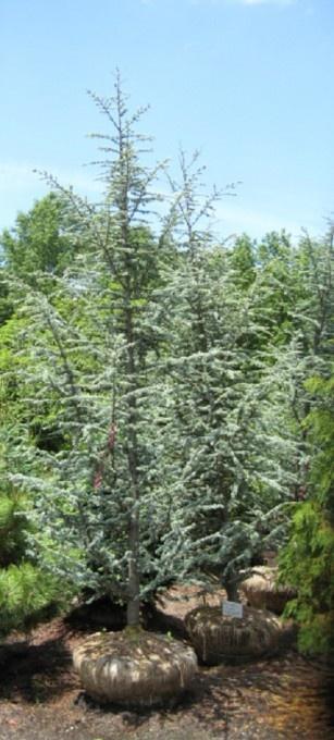 Cedrus Atlantica Glauca The Popular Blue Atlas Cedar Is A