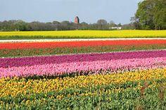 Slochteren - Tulpenvelden