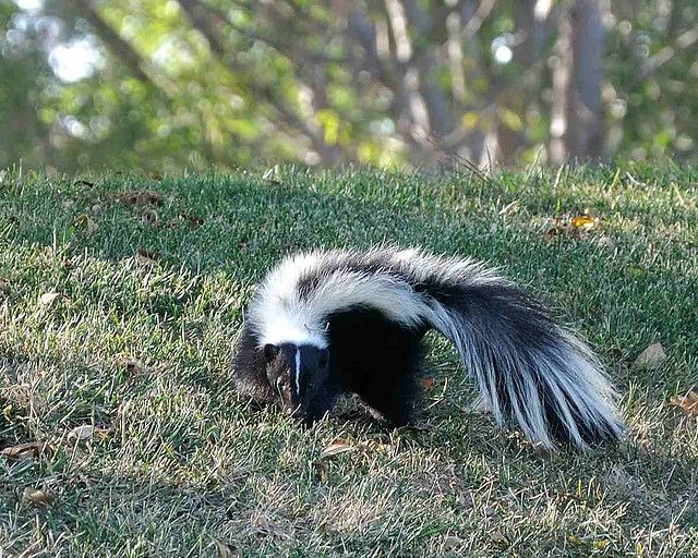 Skunk spray toxicosis causes a reaction similar to the damage that onions and garlic can do in dogs, and it can even be fatal.